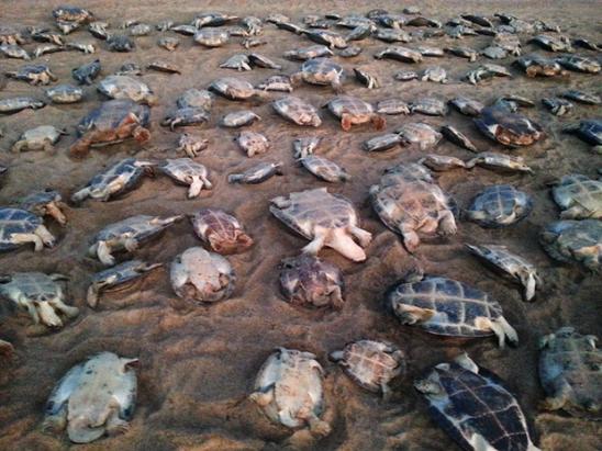 Operação resgata 268 tartarugas em RR, prende e multa dois em R$ 2,6 mi