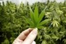 Anvisa estuda regulamentação para cultivo de maconha medicinal